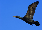 Adult Double Crested Cormorant In April Flight