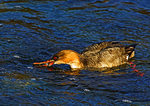 Red-Breasted Female Merganser Catching Fish