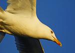 Herring Gull Patrol Close-Up