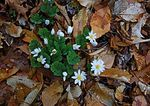 Bloodroot Cluster In Early April Forest