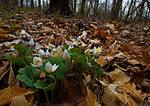 Bloodroot Blooming Among Leaf Litter In April