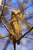 Great Horned Owl Fledgling In Mid April