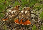 Mated Red tailed Hawks At Nest