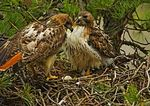 Red Tailed Hawks At Nest With Egg