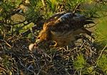 Red Tailed Hawk Feeding Baby Chick