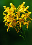 Yellow-Fringed Orchid