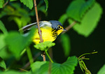 Canada Warbler During Spring Migration