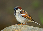 House Sparrow In Spring