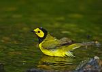 Male Hooded Warbler Bathing, Spring Migration