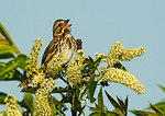 Song Sparrow Sings On Blooming Black Cherry In Spring