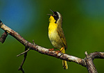 Common Yellowthroat Sings In Early June