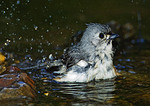 Tufted Titmouse Bathing In Spring