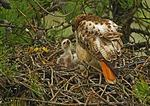 Red-Tail Feeding Chick