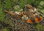 Red-Tailed Hawk Presenting Mouse To Female