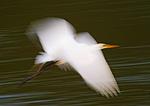 Great Egret Flight Impression