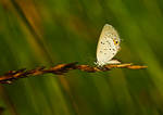 Eastern Tailed Blue In Late Spring