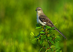 Northern Mockingbird Portrait, Mid-June