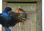 Tree Swallow Feeding Nestling