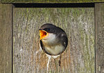 Hungry Tree Swallow Nestling