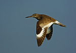 Willet In Summer Flight