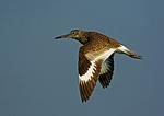 Willet In Summer Flight