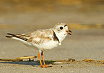Piping Plover Calling