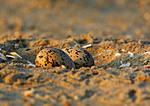 Oystercatcher Eggs At Dawn