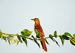 Brown Thrasher In First Light
