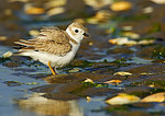 Young Piping Plover Ruffling Feathers
