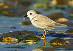 Young Piping Plover In Beach Habitat