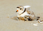 Piping Plover Adult With Chick