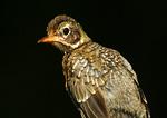 Fledgling Robin Portrait