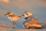 Piping Plover And Chick In Last Light