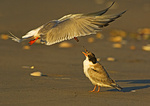 Common Tern Hovering And Feeding Fledgling