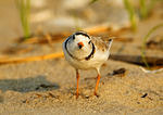 Adult Piping Plover, Frontal View