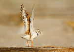 Adult Piping Plover Wing Stretch