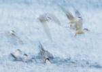 Common Terns Bathing Impression