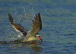 Bathing Black Skimmer