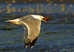Adult Herring Gull Flies With Crab