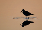 Lesser Yellowlegs Silhouette At Dawn