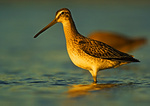 Short Billed Dowitcher In Late Afternoon Light