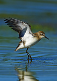 Semipalmated Sandpiper Leaping