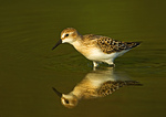 Semipalmated Sandpiper And Reflection
