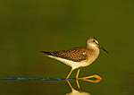 Lesser Yellowlegs Forage In Early Light