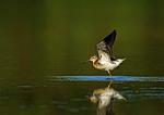 Stilt Sandpiper On Pond