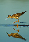 Lesser Yellowlegs Foraging In Late Light