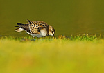 Semipalmated Sandpiper Foraging During Autumn Migration