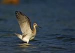 Greater yellowlegs with raised wings in late September