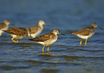 A group of greater yellowlegs during fall migration