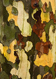 Close-Up Of London Plane Tree Bark